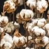 In Africa, Cotton Remains Strategic Crop As Electronic Components Trade Drives Tech Growth