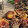 FG To Create 4 Million Jobs Through Oil Palm Production